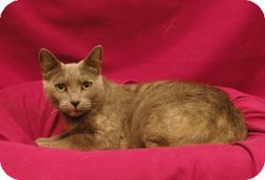Domestic Shorthair Cat for adoption in Sacramento, California - Darling