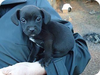 Chihuahua Mix Puppy for adoption in Staunton, Virginia - Apollo
