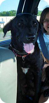 Labrador Retriever Mix Dog for adoption in Sinking Spring, Pennsylvania - Ginny