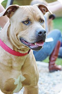 American Bulldog/Mastiff Mix Dog for adoption in Reisterstown, Maryland - Penny
