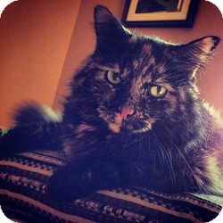 Maine Coon Cat for adoption in Palatine, Illinois - Amber