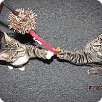 Adopt A Pet :: Mork - Oxford, CT
