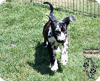 Catahoula Leopard Dog Mix Puppy for adoption in Anza, California - Painter