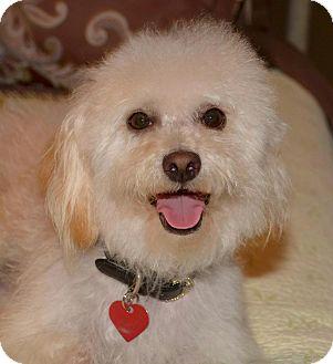 Coton de Tulear/Poodle (Miniature) Mix Dog for adoption in La Canada, California - Porter