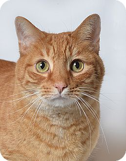 Manx Cat for adoption in El Dorado Hills, California - Muldoon