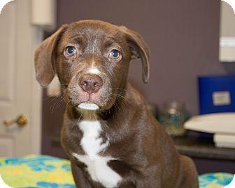 Labrador Retriever Mix Puppy for adoption in Seneca, South Carolina - Monkey $300