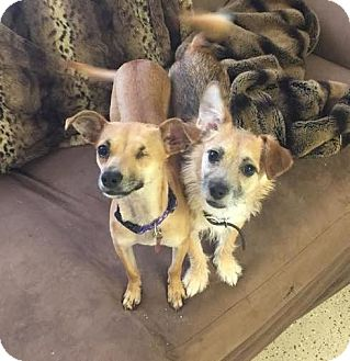 Terrier (Unknown Type, Small)/Border Terrier Mix Puppy for adoption in Las Vegas, Nevada - Rocky
