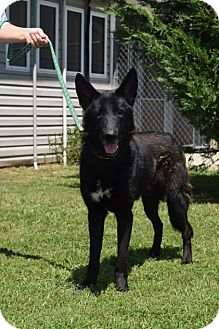 German Shepherd Dog Mix Dog for adoption in Greeneville, Tennessee - Blake
