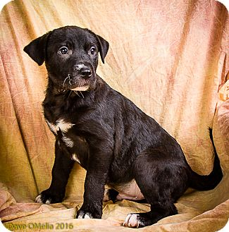 Shar Pei/Great Pyrenees Mix Puppy for adoption in Anna, Illinois - CHANNING