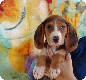 Beagle/Basset Hound Mix Puppy for adoption in Oviedo, Florida - Phantom
