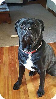 English Bulldog/Labrador Retriever Mix Dog for adoption in North Haven, Connecticut - Jack