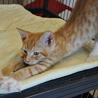 Domestic Shorthair/Domestic Shorthair Mix Cat for adoption in Pompano Beach, Florida - Dandelion