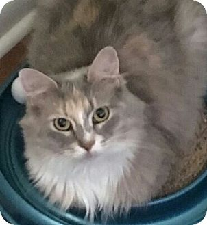 Domestic Longhair Cat for adoption in Youngstown, Ohio - Lucy