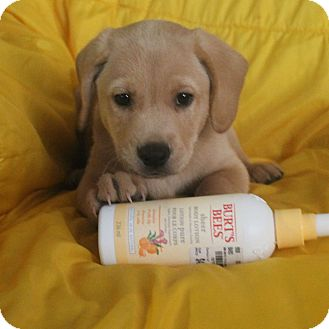 Labrador Retriever/Beagle Mix Puppy for adoption in Minneapolis, Minnesota - Rory