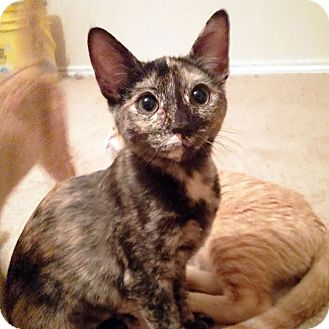 Domestic Shorthair Kitten for adoption in Arlington/Ft Worth, Texas - Twinkle