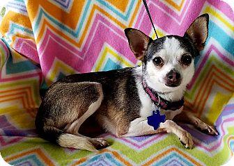 Chihuahua Mix Dog for adoption in Hamilton, Ontario - Medina