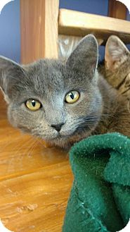 Russian Blue Cat for adoption in Brookings, South Dakota - Kona