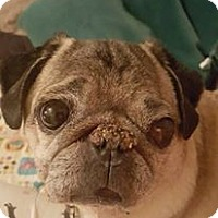 Pug/Pug Mix Dog for adoption in Gilroy, California - Bennie