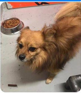 Pomeranian Mix Dog for adoption in Fairfax Station, Virginia - Tony