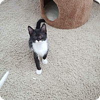 Domestic Shorthair Kitten for adoption in Charlotte, North Carolina - Sue