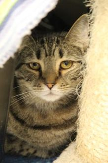 Domestic Shorthair/Domestic Shorthair Mix Cat for adoption in Thomasville, Georgia - Tabby