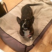 Cardigan Welsh Corgi/French Bulldog Mix Dog for adoption in west berlin, New Jersey - Toby