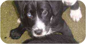 Border Collie/Sheltie, Shetland Sheepdog Mix Puppy for adoption in Cincinnati, Ohio - Champ