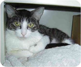Domestic Shorthair Cat for adoption in Modesto, California - Romeo