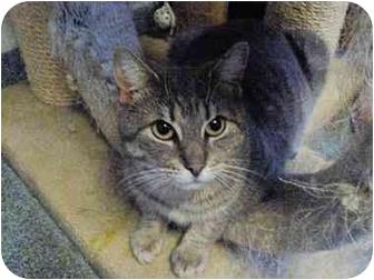 Domestic Shorthair Cat for adoption in West Warwick, Rhode Island - Baruch