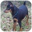 Photo 2 - Miniature Pinscher Dog for adoption in Columbus, Ohio - chance