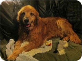 Golden Retriever Dog for adoption in Denver, Colorado - Henry