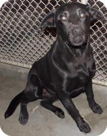 Labrador Retriever Mix Puppy for adoption in Shirley, New York - Moses