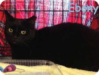 Domestic Shorthair Cat for adoption in Merrifield, Virginia - Ebony