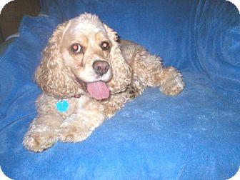 Cocker Spaniel Dog for adoption in Kannapolis, North Carolina - Lady Bird/Ladybug  -Adopted!