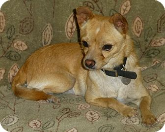 Chihuahua Mix Dog for adoption in Quail Valley, California - Diego