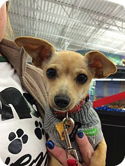 Chihuahua Mix Puppy for adoption in Dallas, Texas - Zephyr