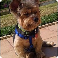 Adopt A Pet :: Juju - Homestead, FL