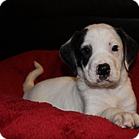 Adopt A Pet :: DoDo - Westminster, CO