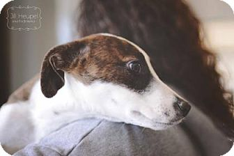 Terrier (Unknown Type, Medium) Mix Dog for adoption in Edwardsville, Illinois - Rain
