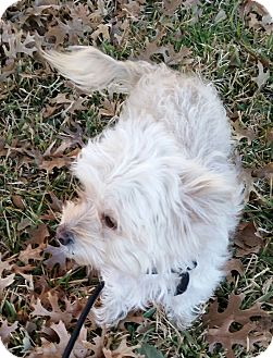 Poodle (Miniature)/Terrier (Unknown Type, Small) Mix Dog for adoption in Snyder, Texas - Sophie