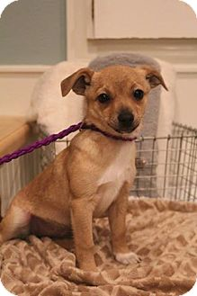 Cairn Terrier/Chihuahua Mix Puppy for adoption in Allentown, Pennsylvania - Cali
