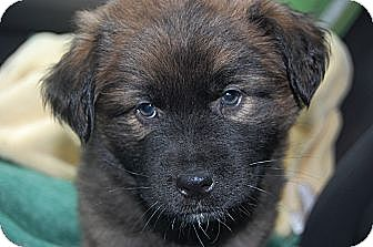 Keeshond Mix Puppy for adoption in knoxville, Tennessee - BEAR