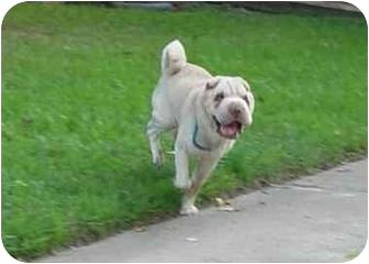 Shar Pei Dog for adoption in Houston, Texas - Boscoe