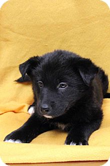 Husky/Retriever (Unknown Type) Mix Puppy for adoption in Westminster, Colorado - Sasha
