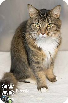 Maine Coon Cat for adoption in Merrifield, Virginia - Flossie