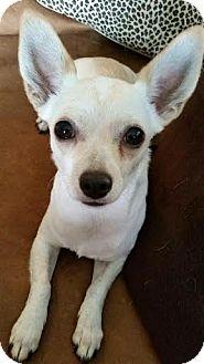 Chihuahua Mix Puppy for adoption in Oviedo, Florida - Crickett