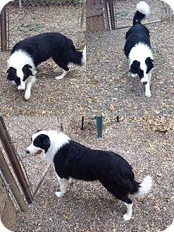 Border Collie Dog for adoption in San Pedro, California - KAI