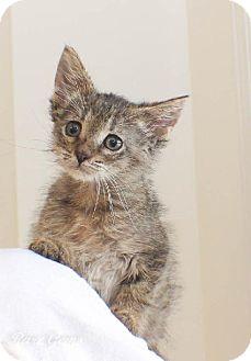 Domestic Shorthair Kitten for adoption in Flora, Illinois - Doc