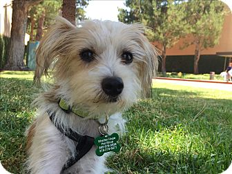 Maltese/Terrier (Unknown Type, Small) Mix Dog for adoption in Thousand Oaks, California - Ralph