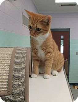 Domestic Shorthair Cat for adoption in Warrenton, North Carolina - Tigger